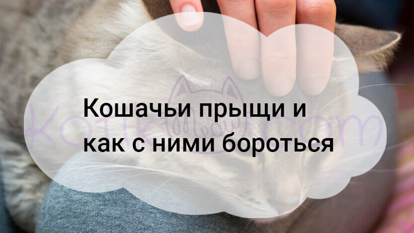 Kak-obrashhatsja-s-koshachimi-pryshhami
