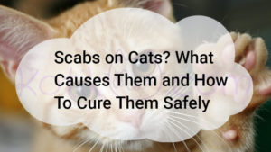 Scabs on Cats How To Cure Them Safely?
