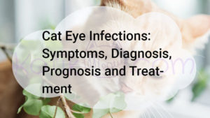 Cat Eye Infections: Symptoms, Diagnosis, Prognosis and Treatment