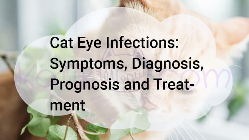 Cat Eye Infections, Symptoms, Diagnosis, Prognosis and Treatment