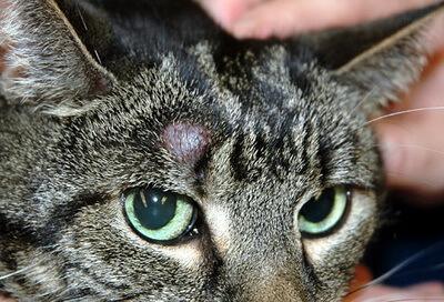 Cat Skin Tumors