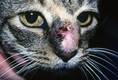 Cat Sporotrichosis