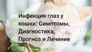 Инфекция глаз у кошки, Симптомы, Диагностика, Прогноз и Лечение