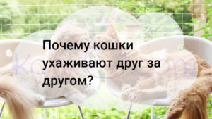 Почему кошки ухаживают друг за другом?