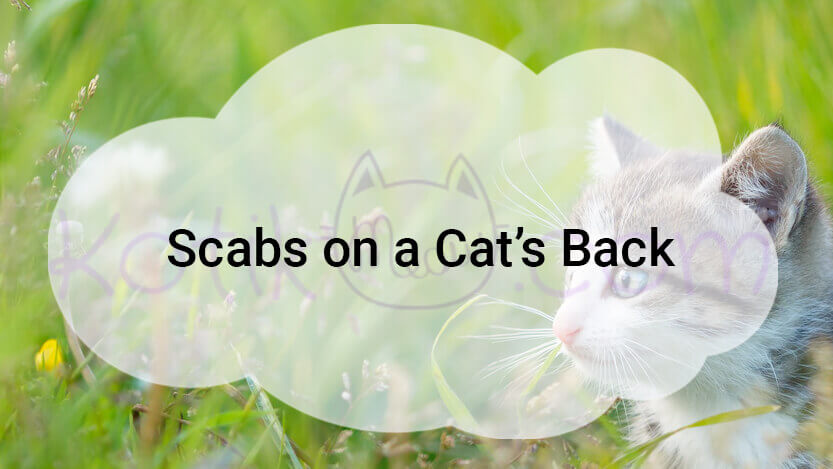 Scabs on a Cat's Back