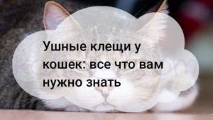 Ушные клещи у кошек: все что вам нужно знать