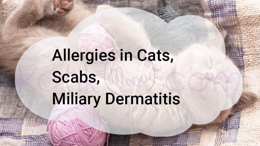 Allergies in Cats, Scabs, Miliary Dermatitis