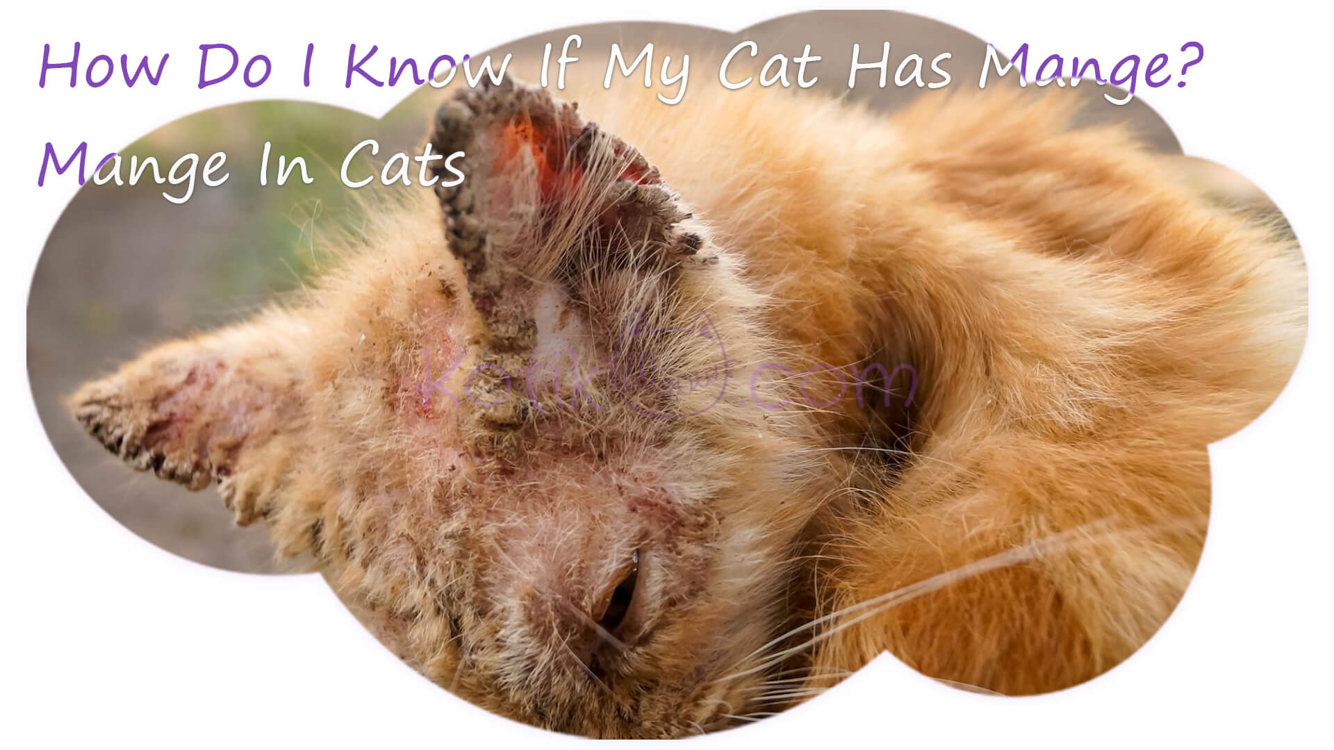 11 Most Common Cat Skin Problems Scabs Allergies