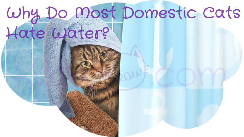 Why Do Most Domestic Cats Hate Water?