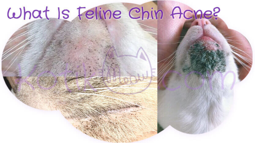 What Is Feline Chin Acne