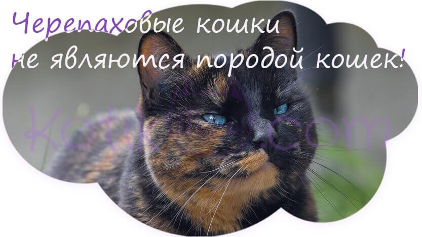 Черепаховые кошки не являются породой кошек