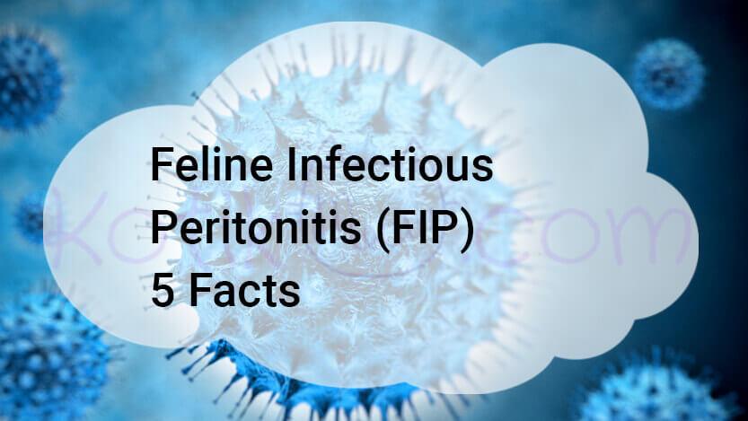 Feline Infectious Peritonitis (FIP) 5 Facts