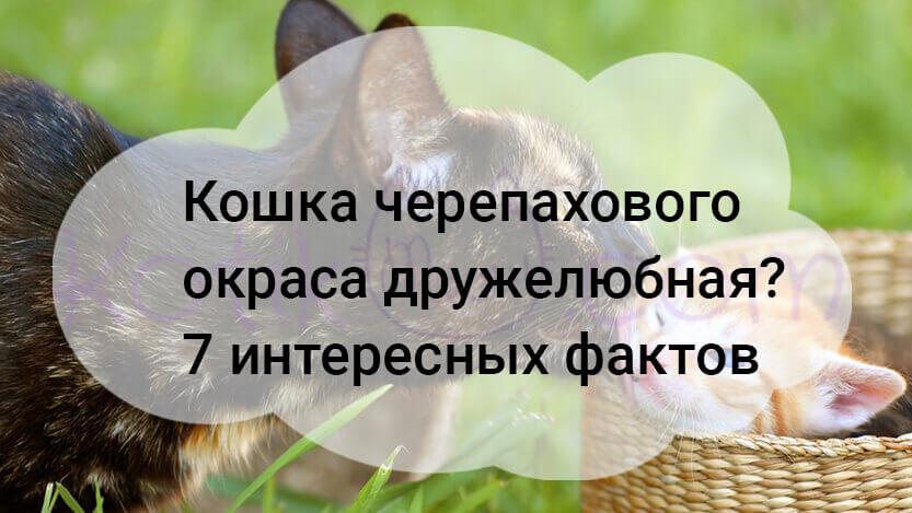 Кошка черепахового окраса дружелюбная? 7 интересных фактов