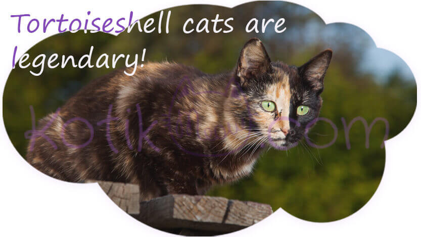Tortoiseshell cats are legendary!