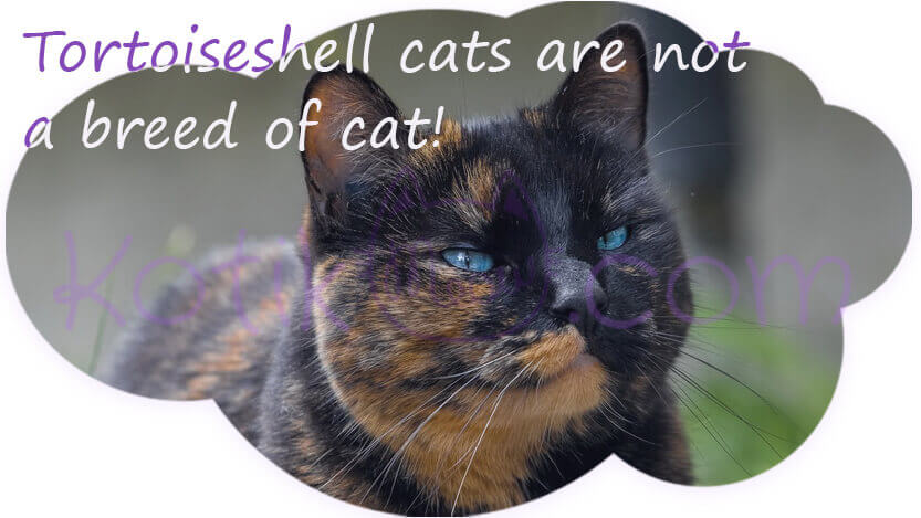 Tortoiseshell cats are not a breed of cat!