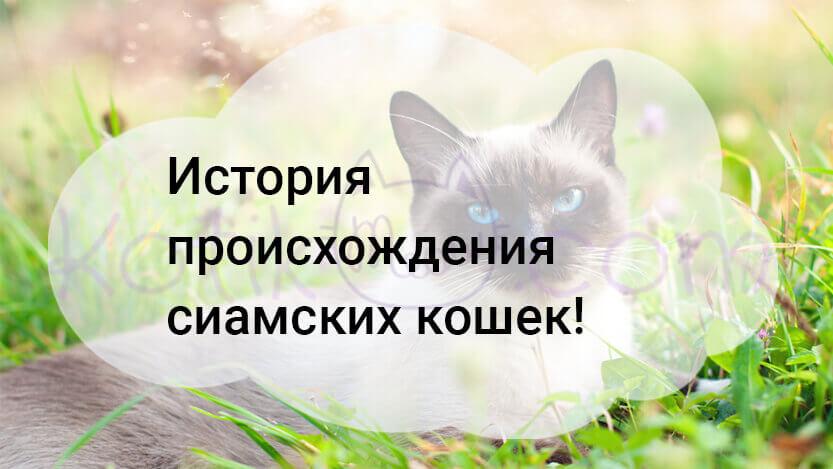 История происхождения сиамских кошек!