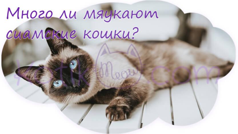 Много ли мяукают сиамские кошки