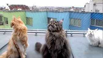 Cute Maine Coons chattering at city birds