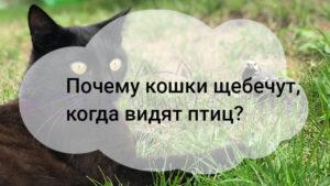 Почему кошки щебечут, когда видят птиц?