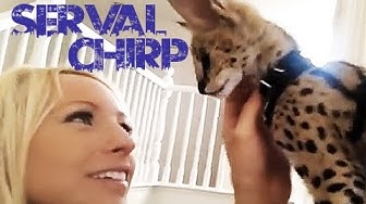 Why Serval Chirp So Cute