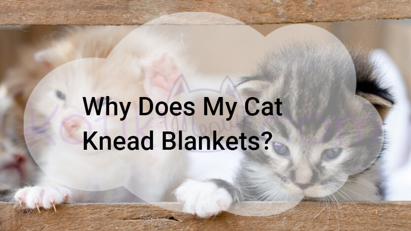 Why Does My Cat Knead Blankets?