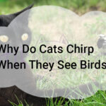 Why Do Cats Chirp When They See Birds?