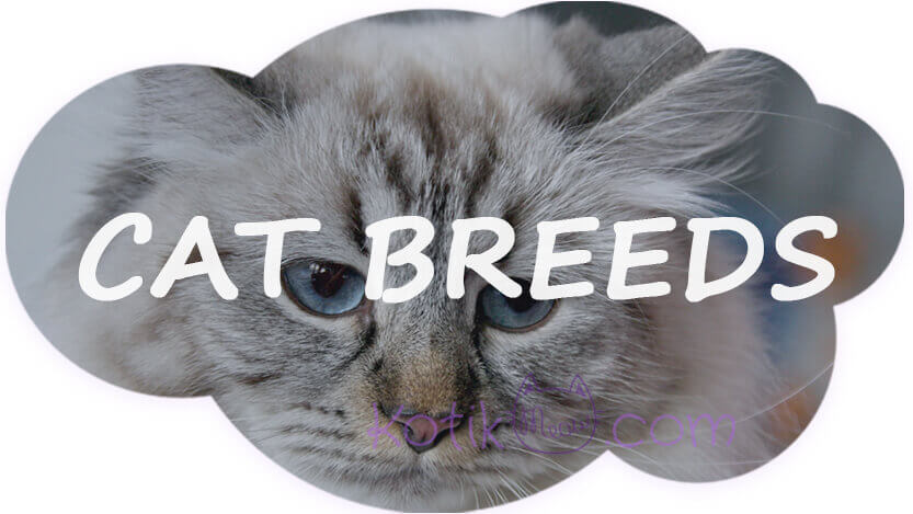What is the most common breed of cat?
